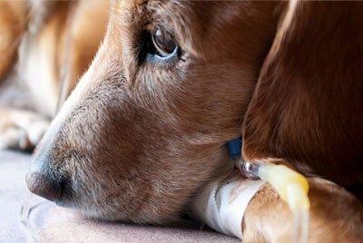 Последствия пироплазмоза: почему важно обрабатывать животное от эктопаразитов?