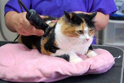 Плюсы осуществления гигиенической стрижки кошек